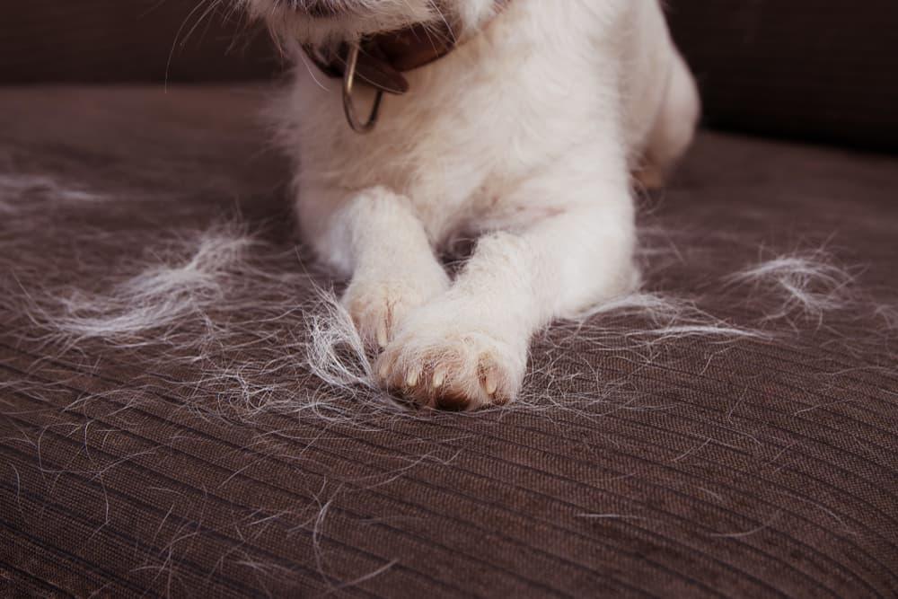 Dog shedding hair on sofa