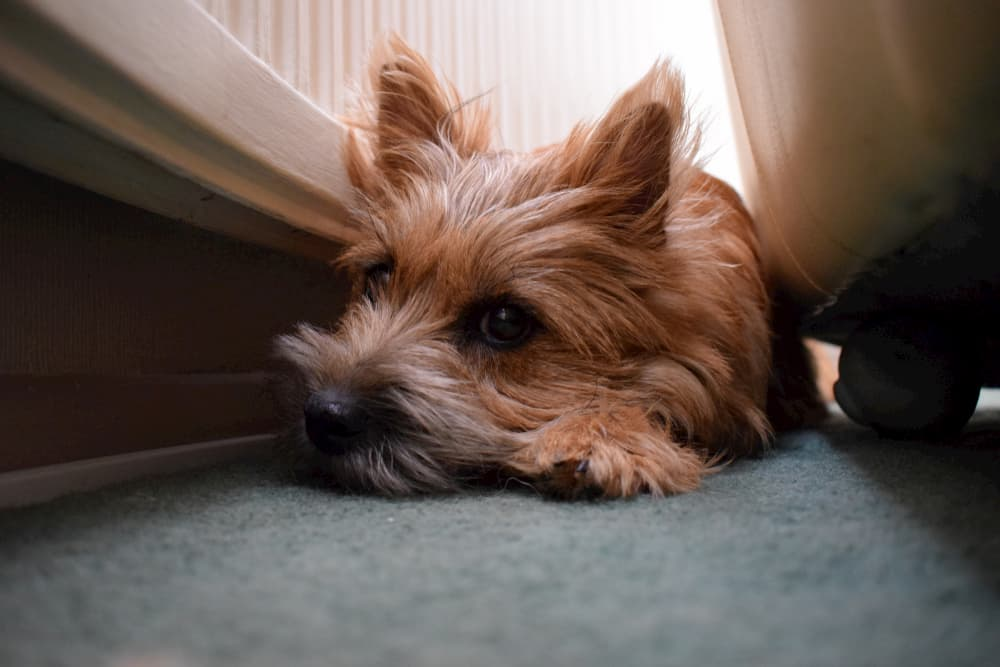 Dog hiding behind the couch