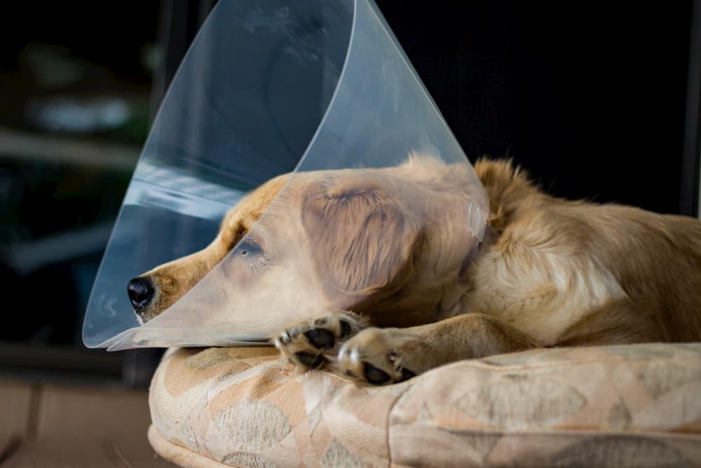 Dog laying down wearing an e-collar