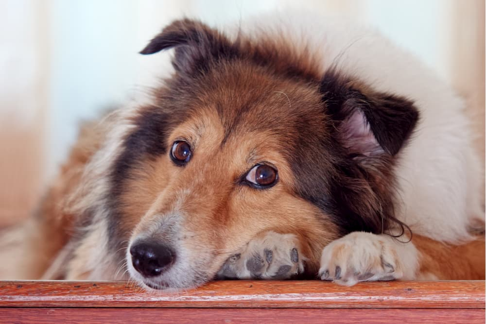 Dog looking sad refusing to go up stairs