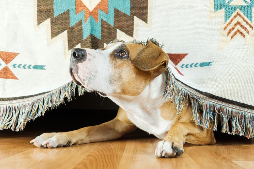 Dog hiding under a blanket scared