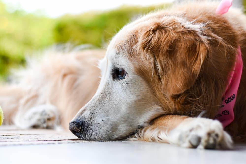 Dog looking sad laying on the ground