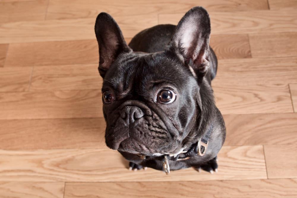 Bulldog sitting on hardwood floor looking sad