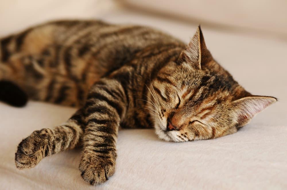 Sleeping cat on the sofa
