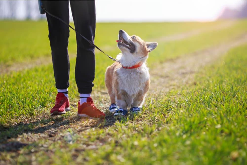 Walking with corgi puppy training