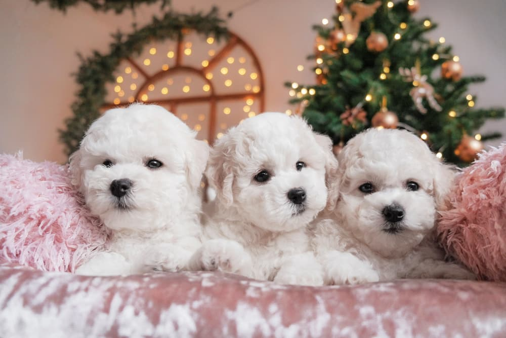 Three cute female puppies with holiday background