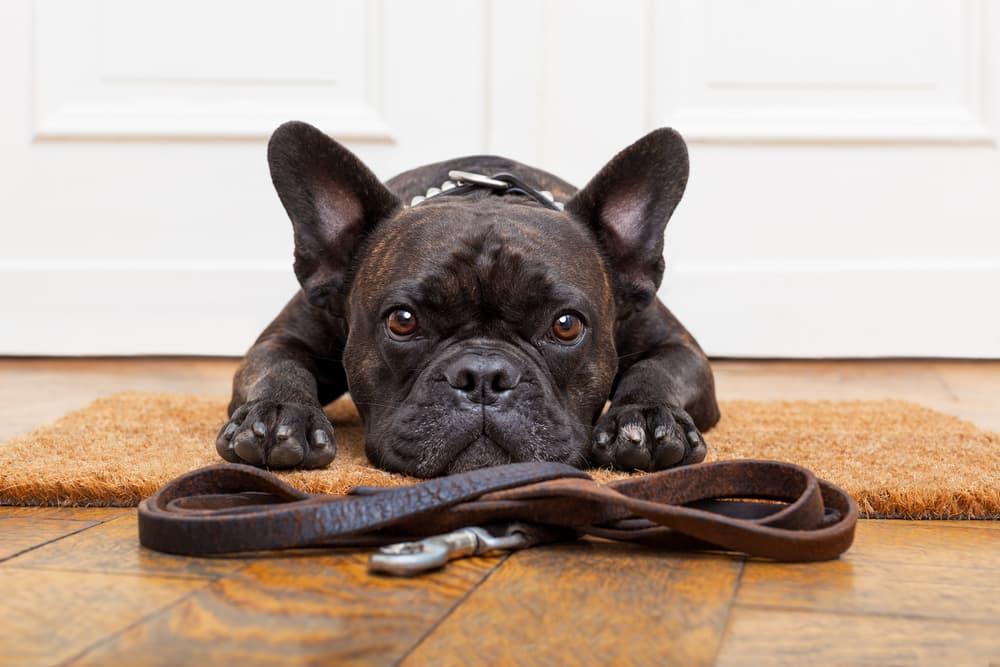 French bulldog looking sad by leash