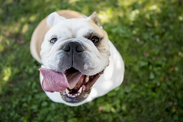 English bulldog close up with tongue sticking out smiling