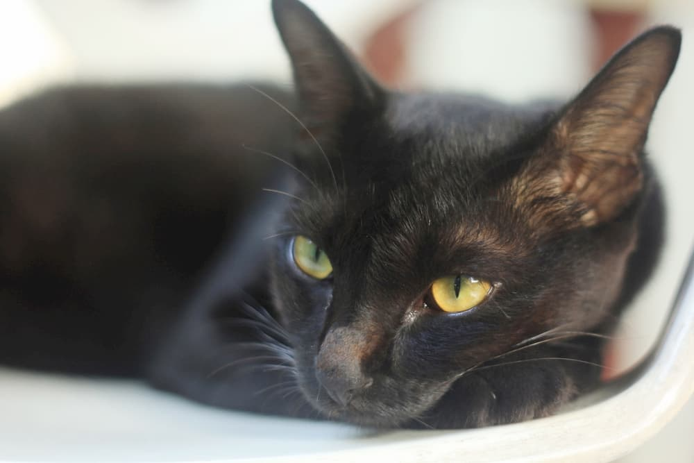Bombay cat sitting in a chair