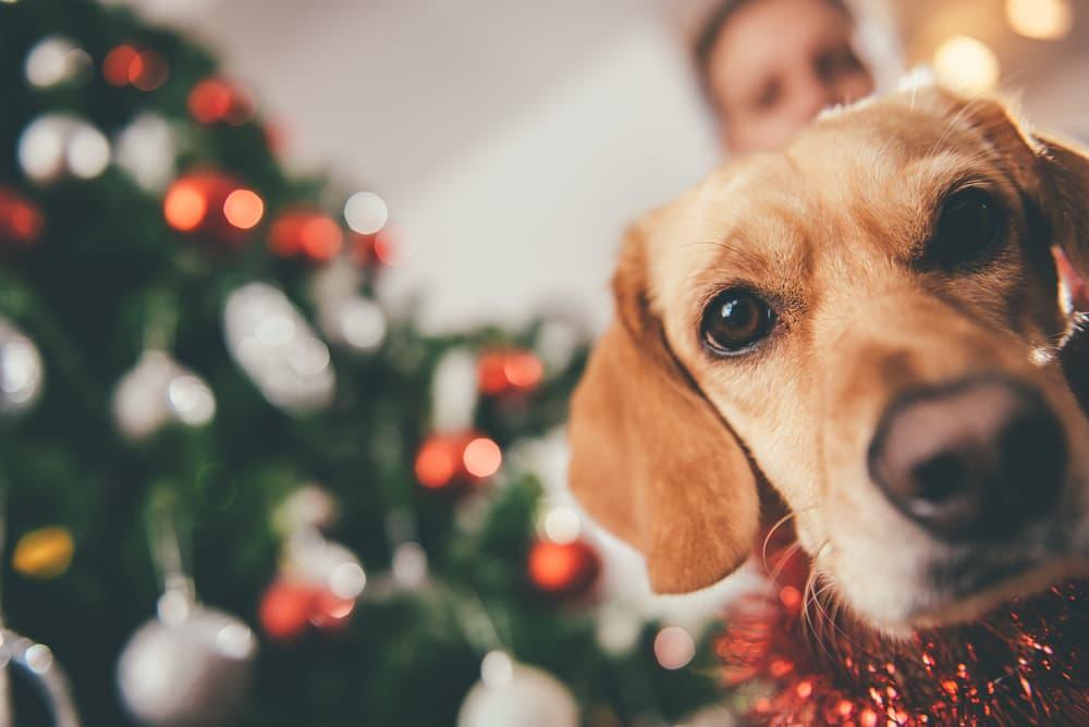 Dog looking at camera on Christmas