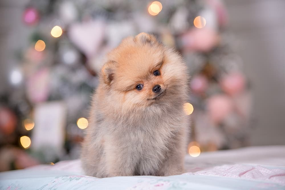Cute female dog on Christmas