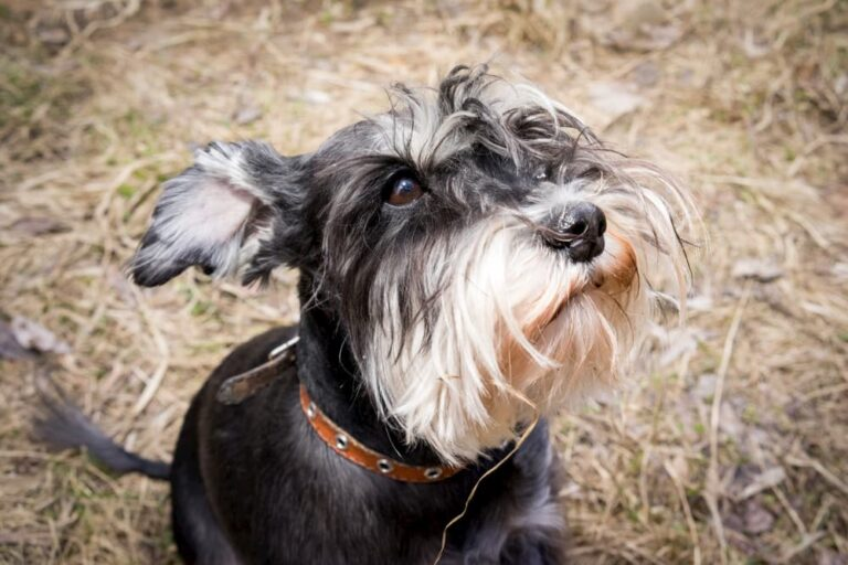 Miniature schnauzer looking up to owner sad
