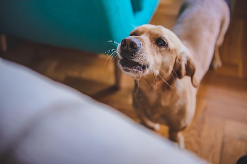 Dog barking at owner at home