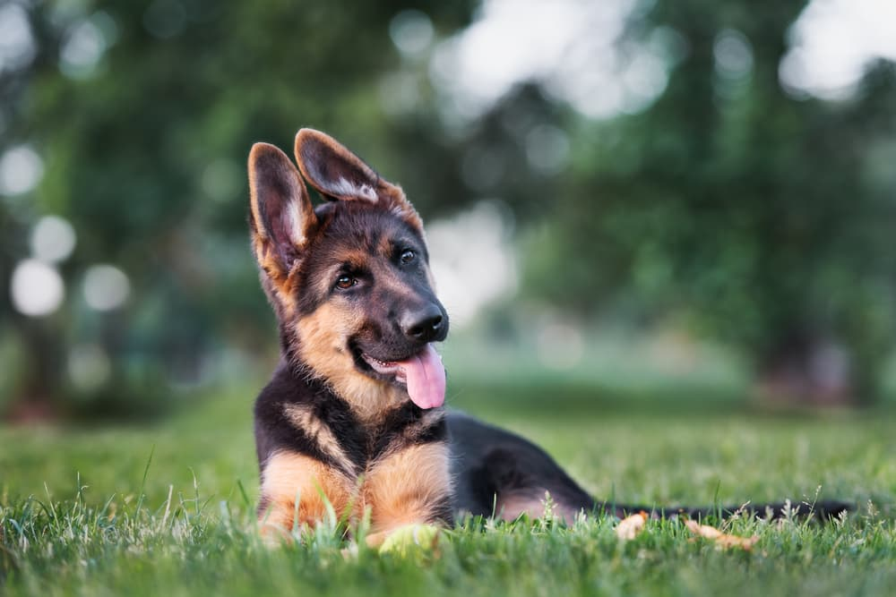 German shepherd puppy with ears up and head tilted