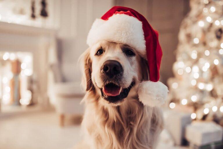 Dog in a Santa hat at Christmas