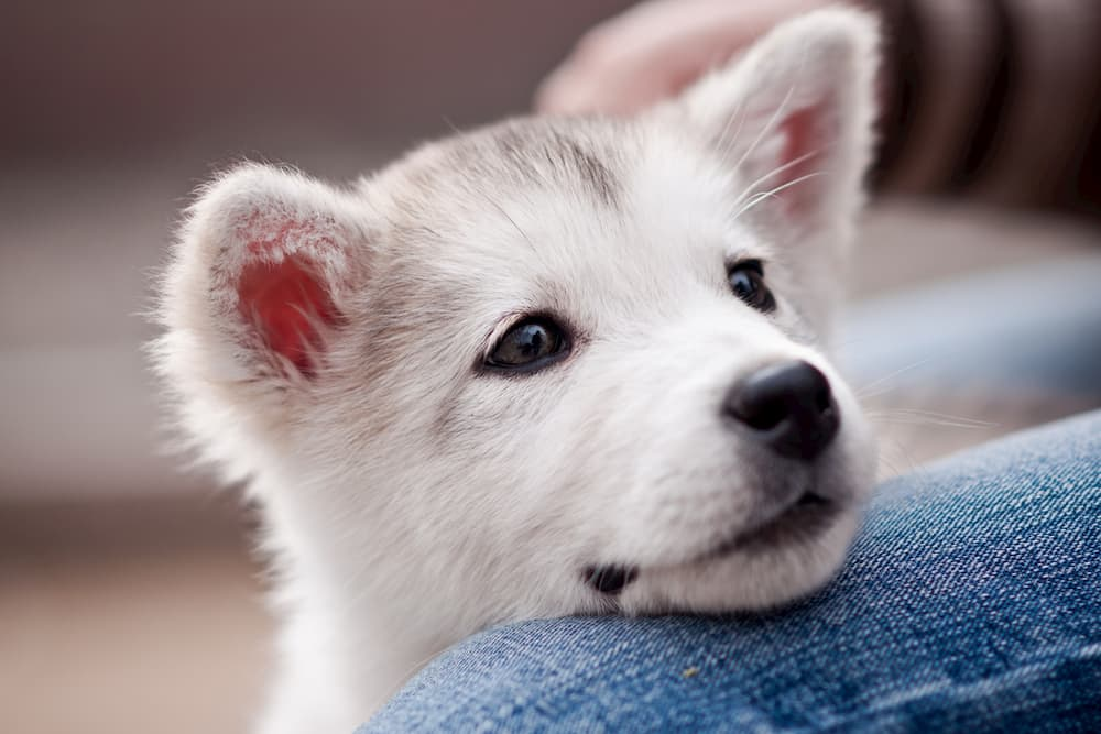 Puppy head on owner's leg