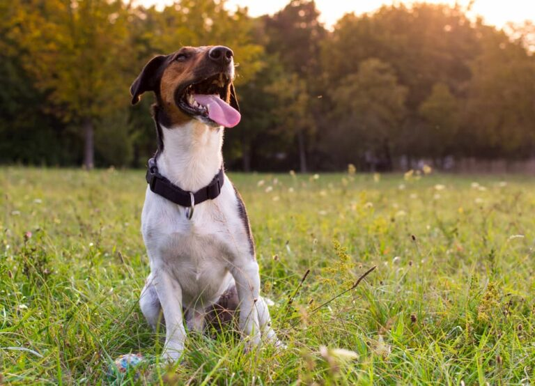 dog in field with tongue out