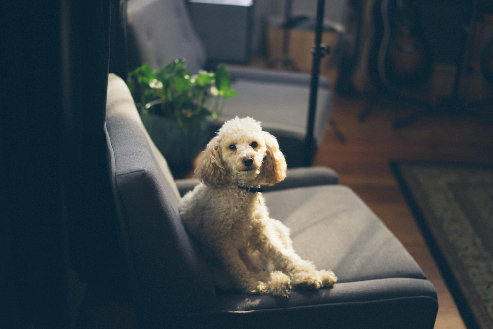 White Poodle on couch in home