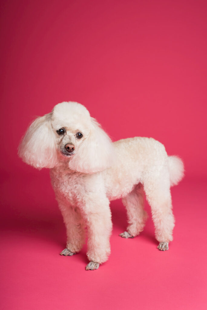 Photo of a recently groomed poodle