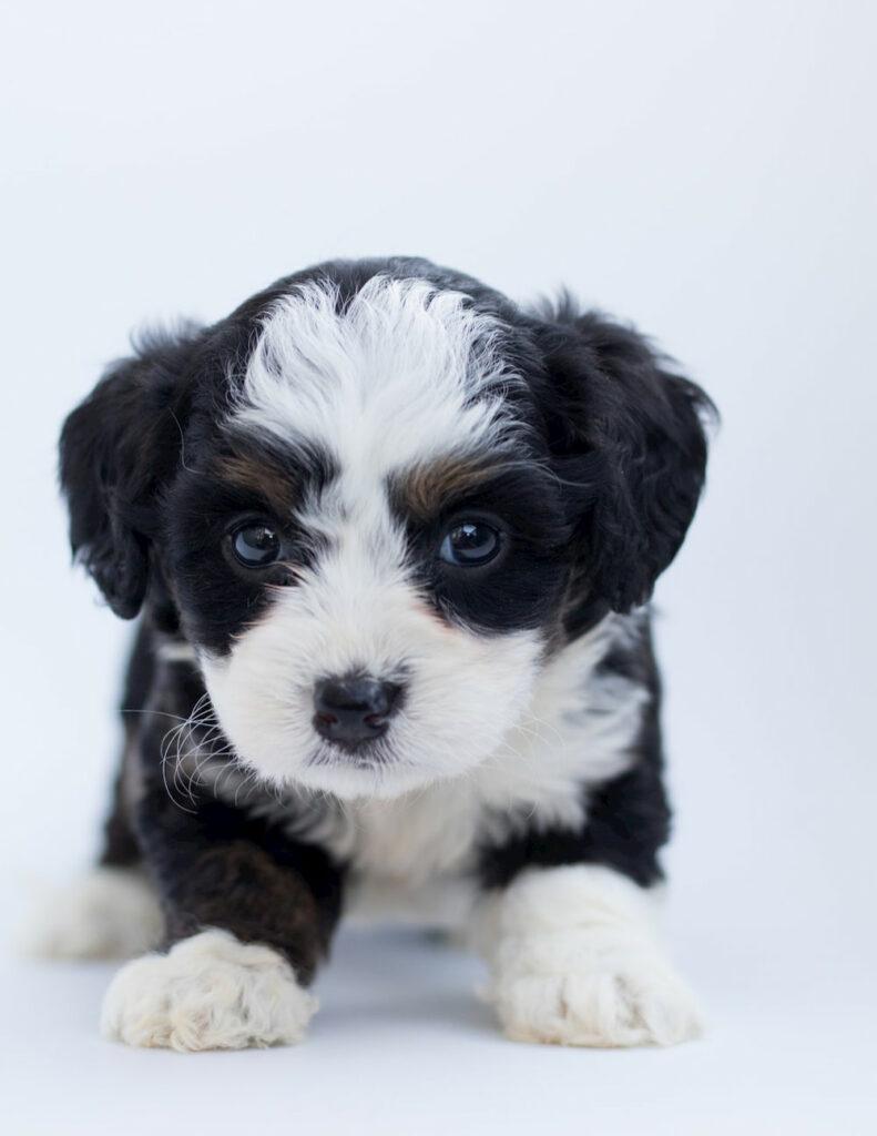 Cute Bernedoodle puppy in studio