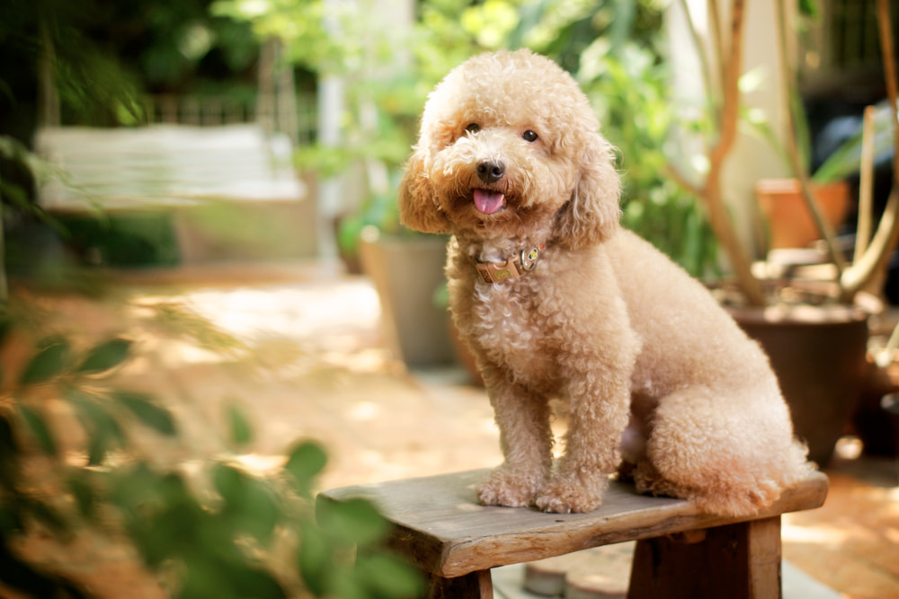 Photo of a Poodle dog outside