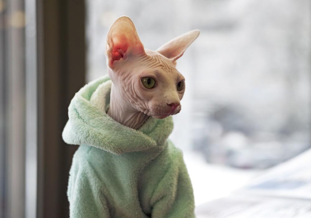 Cute Sphynx cat in green hoodie