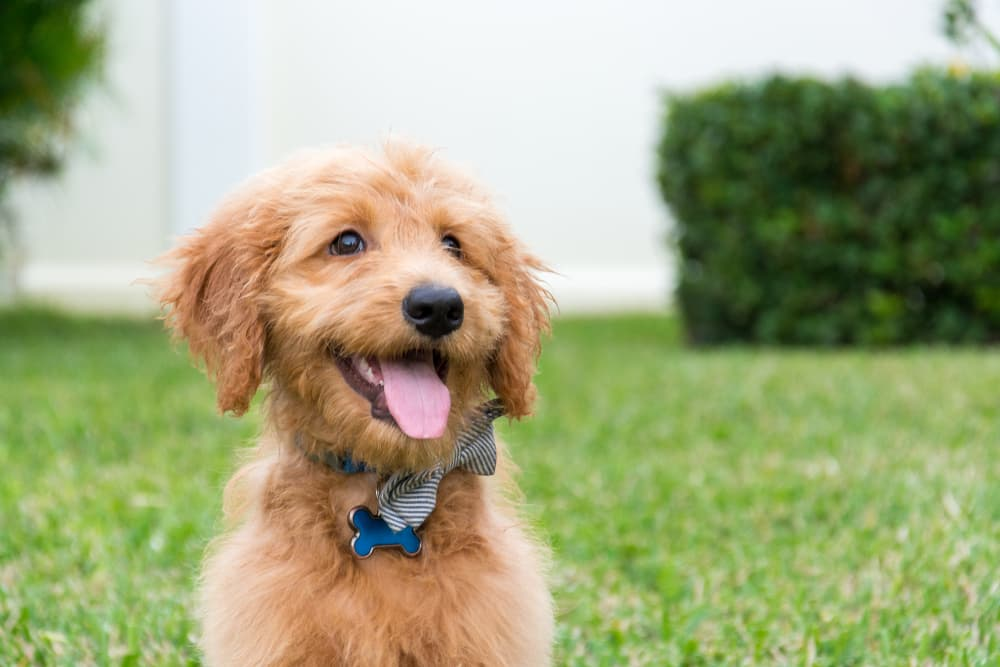 Goldendoodle puppy smiling