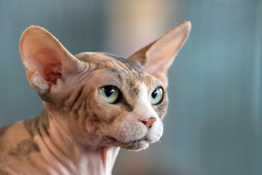 Closeup of Sphynx cat