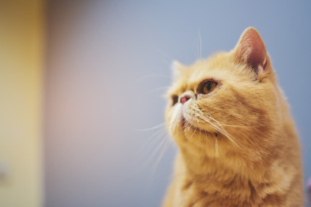 Close up of a cat drooling
