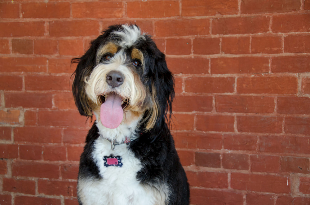 Smiling Bernedoodle by brick wall