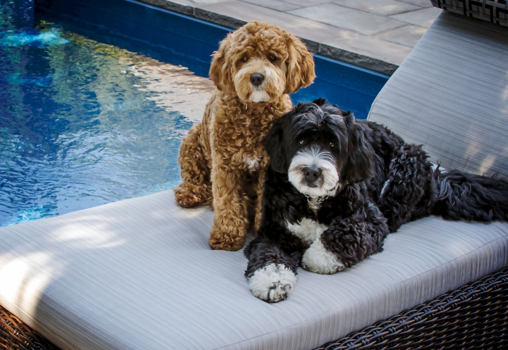 Two different types of Bernedoodles by pool