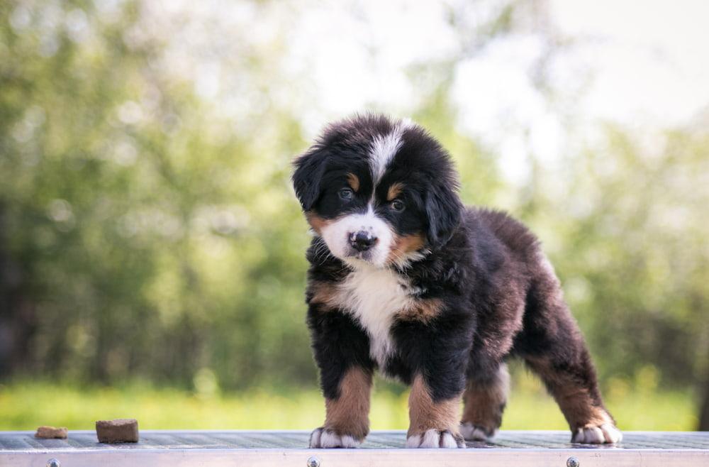 Bernese puppy looking at camera