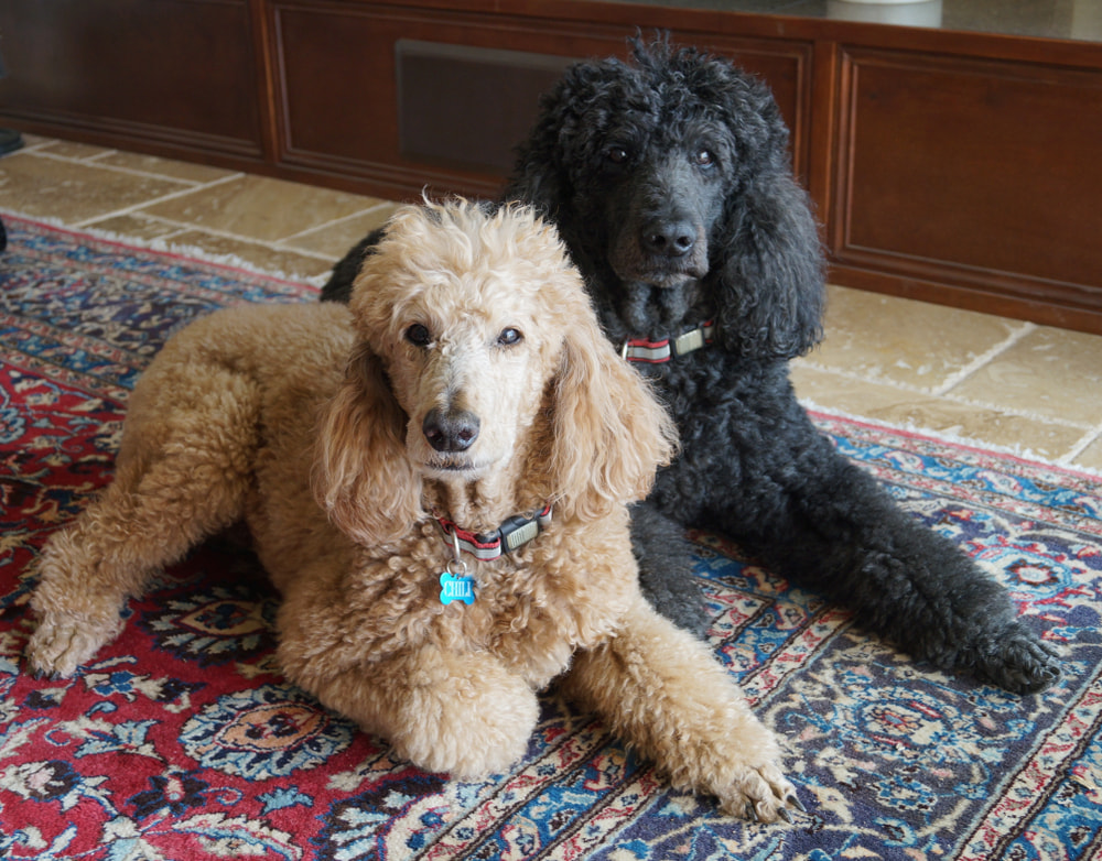Cream and black Poodles lying on carpet at home