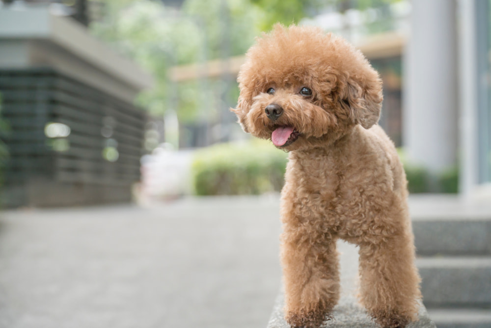 Cute miniature poodle with fluffy hair