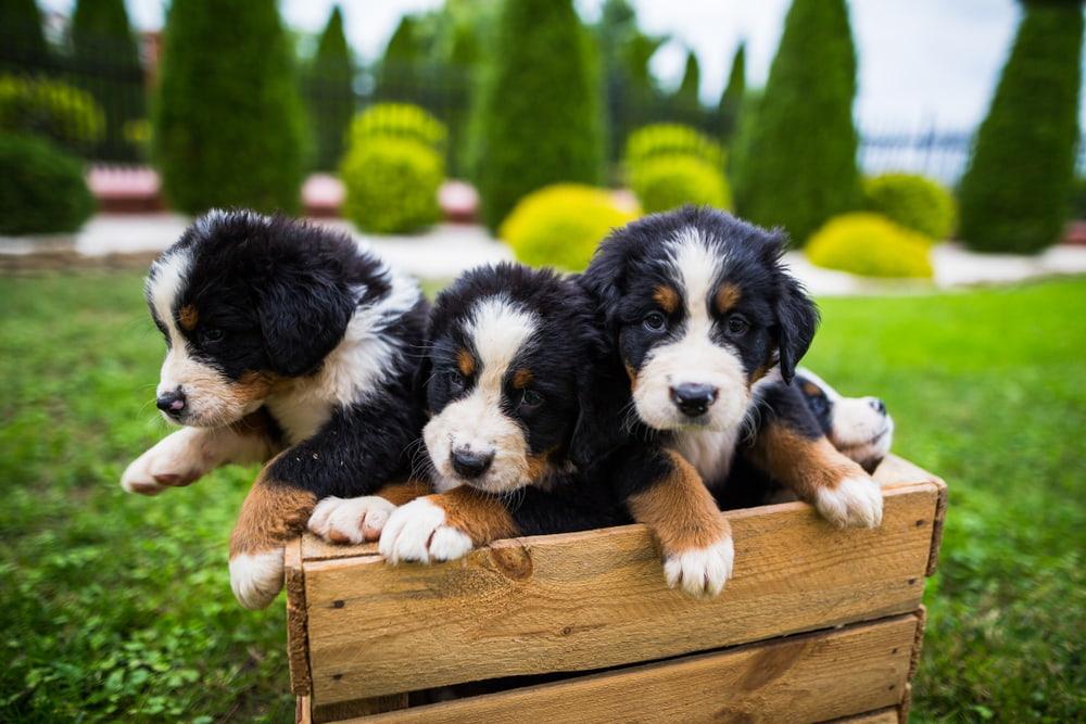 Cute Bernese puppies in wooden crate