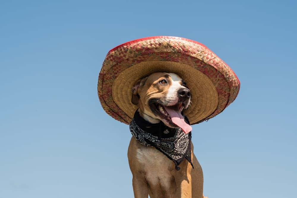 dog wearing a sombrero