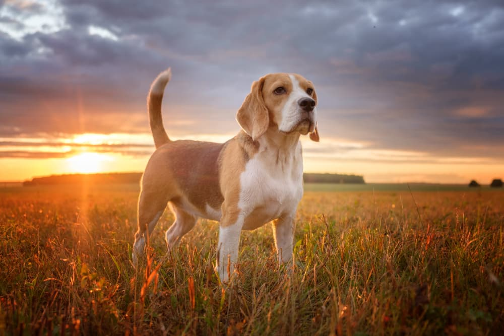 Dog standing in a field with tail alert