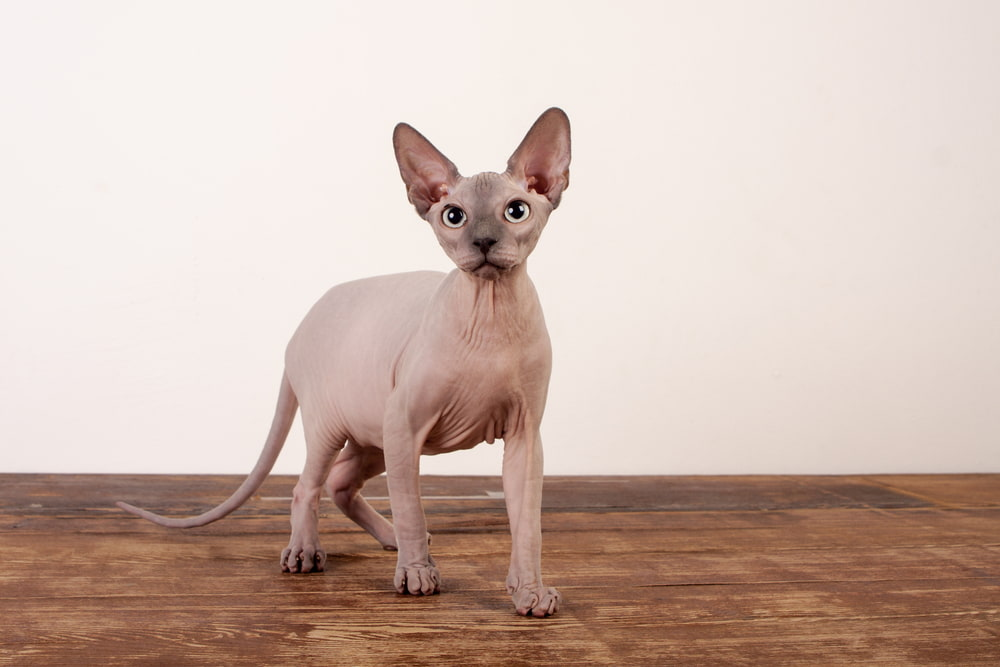 Tan Sphynx cat on table