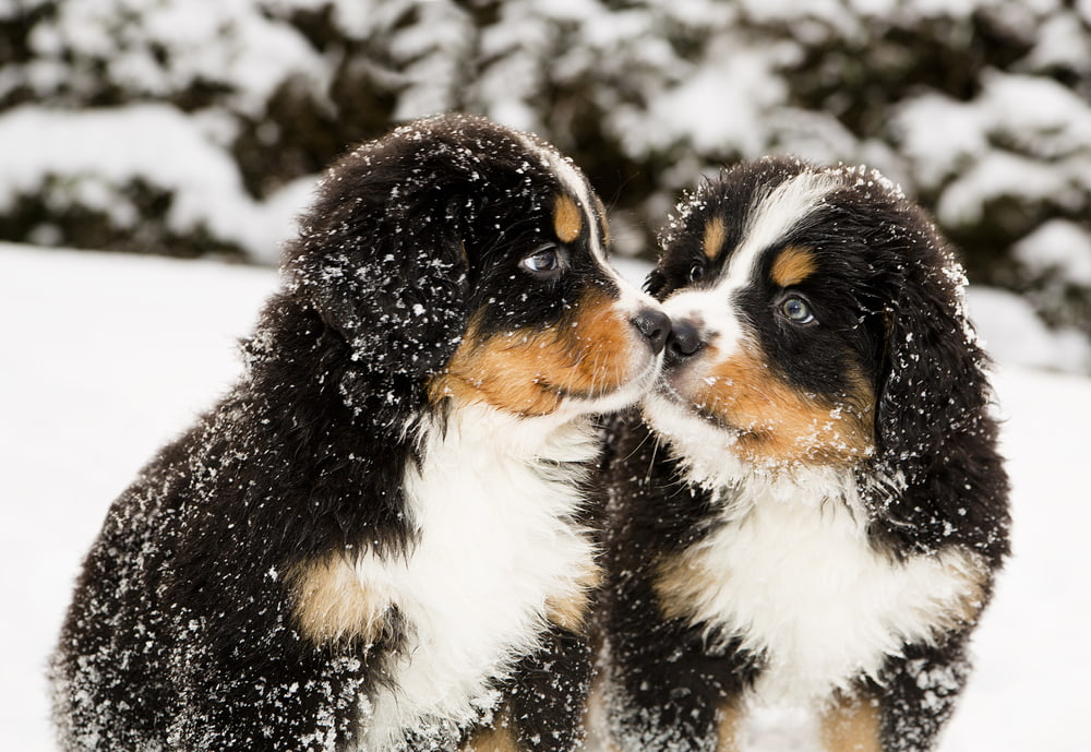 Sweet Bernese Mountain Dog puppies in snow