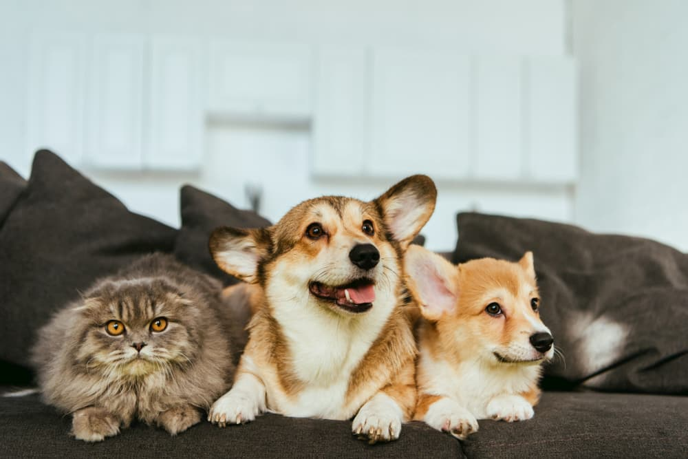 Two corgis sitting on couch with cat