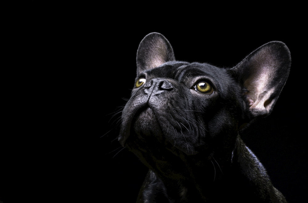 Portrait of black French Bulldog