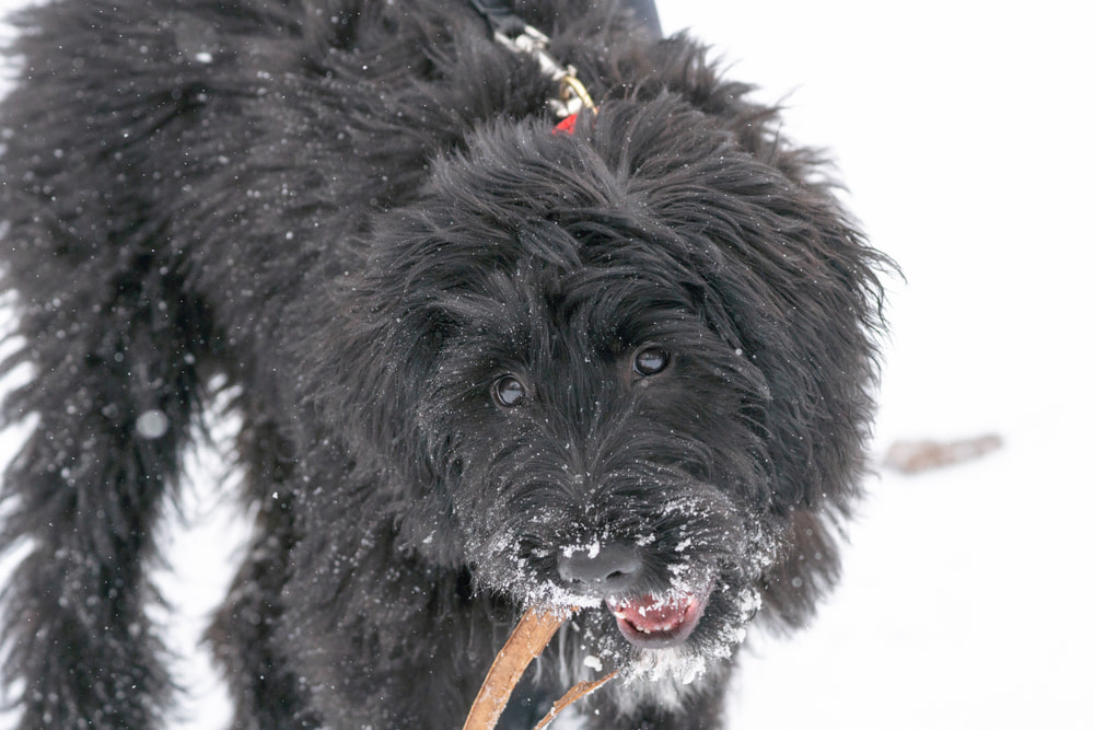 Bernedoodle dog playing in snow
