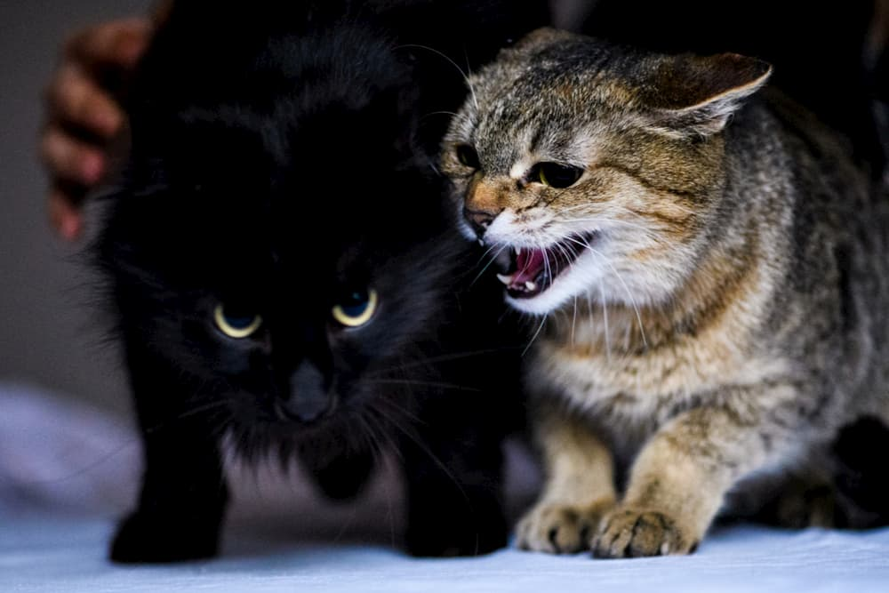 Cat hissing at other cat