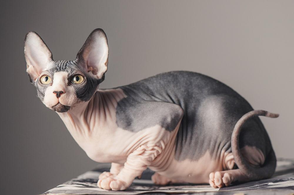 Sphynx cat on table