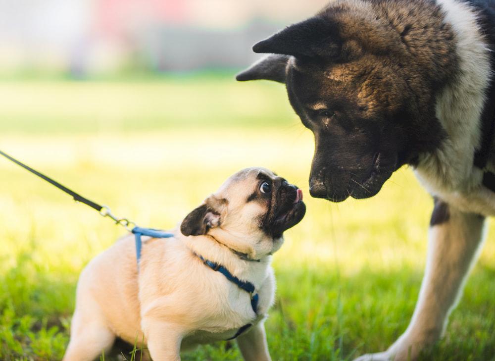 Pug puppy meeting large dog