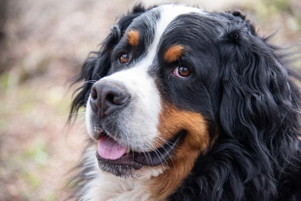 Cute Bernese Mountain Dog smiling