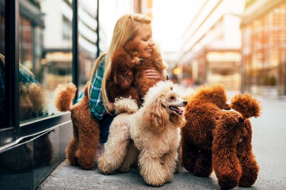 Woman petting Poodles on walk