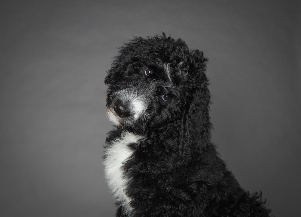 Black and white Bernedoodle in studio
