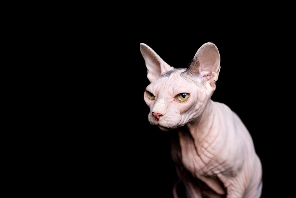 White Sphynx cat on black background