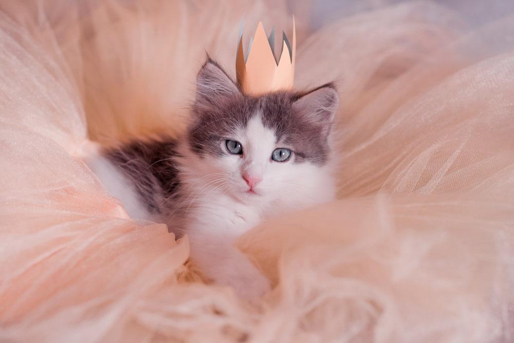 Cat dressed up like a princess